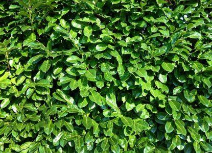 acheter un arbuste de haie